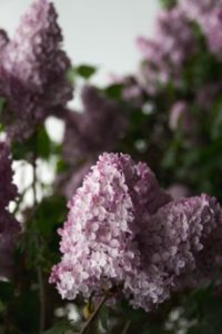 Weisser Flieder – Blütenduft der Extraklasse